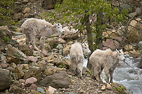 Three young mountain goats pause momentarily before crossing a creek swollen with Spring runoff