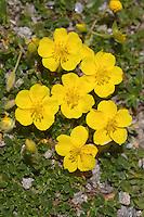 Alpen-Sonnenröschen, Gebirgs-Sonnenröschen, Helianthemum alpestre, Helianthemum oelandicum ssp. alpestre, Helianthemum alpinum, Alpine Rockrose