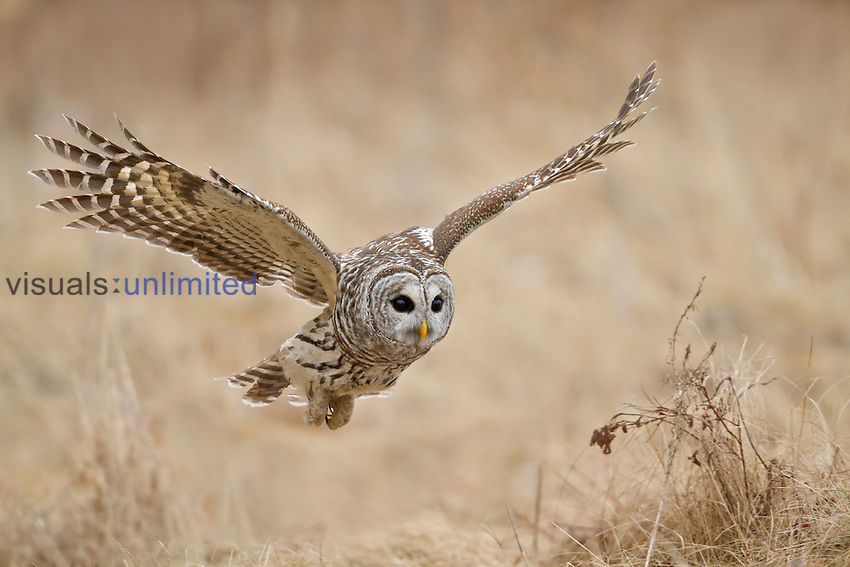 Barred Owl (Strix varia) hunting for prey, Ontario, Canada.