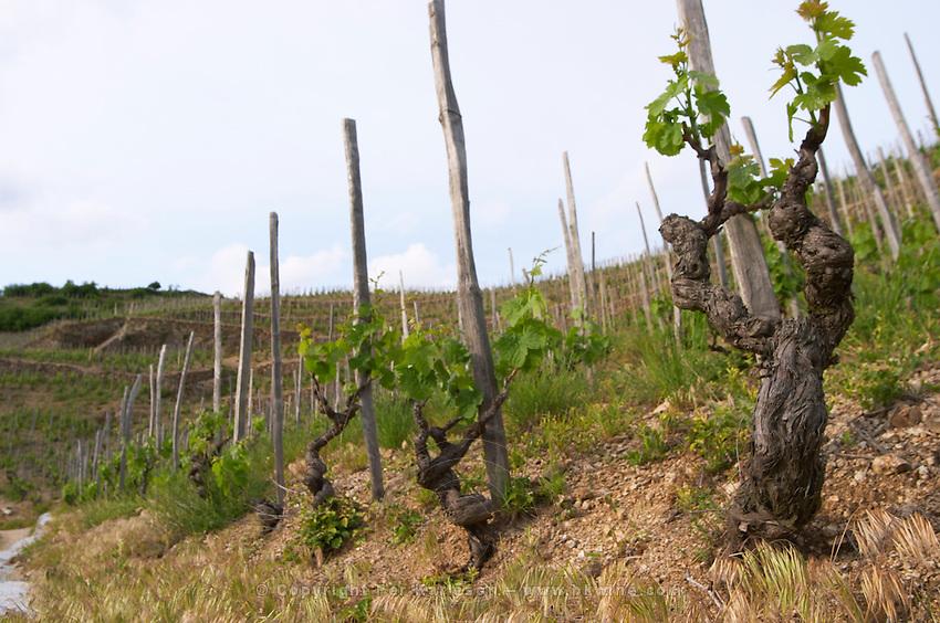 syrah gobelet training old vine vineyard hermitage rhone france