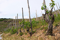 syrah gobelet training old vine vineyard hermitage rhone france