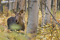 Moose calf in boreal forest, autumn, Fairbanks, Alaska