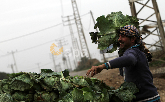 Palestinian farmers harvest cabbage at a farm in the center of Gaza strip during a windy winter day on January 08, 2013. A storm has hit the eastern Mediterranean coast and heavy rains with flooding are forecast in Israel and the Palestinian territories for the next couple of days, with a good chance of snow falling in the higher elevations. Photo by Yasser Qudih