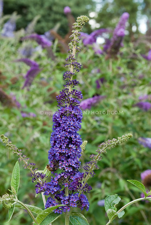 Butterfly Bush Buddleja davidii 'Empire Blue'