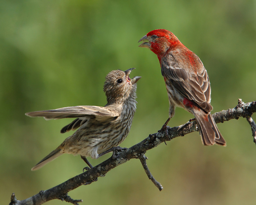 "Baby House Finch in its classic ""demanding"" pose this Spring..Remind you of your kids? :)"
