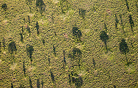A view of acacia trees from above. Photographed during our hot air balloon ride over the Serengeti.