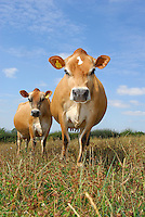 Jersey cows in a field, Wolverhampton.