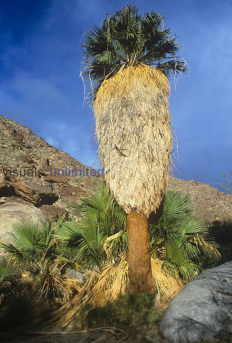 California Fan Palm in a desert canyon ,Washingtonia filifera, Anza-Borrego, California, USA.