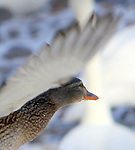 While photographing the swans in Monticello MN this female mallard flew by me and her gaze caused me to pause and once again have a deep respect for all life.