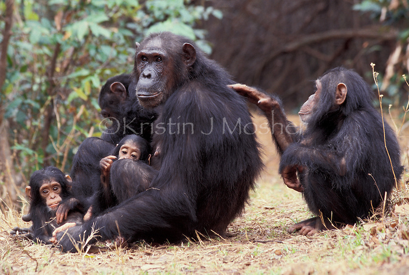Gaia grooms her mother Gremlin while her twin sisters play in Gremlin's lap and brother Galahad self grooms .Eastern Chimpanzee Family (Pan troglodytes schweinfurthii) .Gombe National Park, Tanzania, East Africa