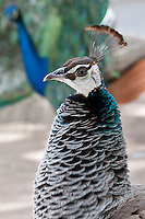 Indian Blue Peahen
