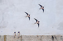 Lisbon, Portugal. 21.03.2015. Street art of swallows in the Alfama district of Lisbon. © Jane Hobson.