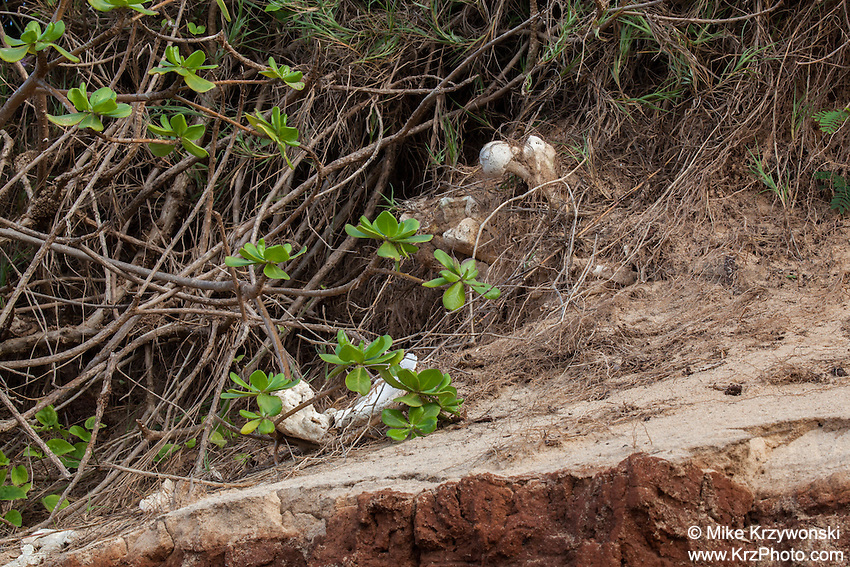 Bones exposed on a cliff face due to erosion at a native Hawaiian burial site on Maui