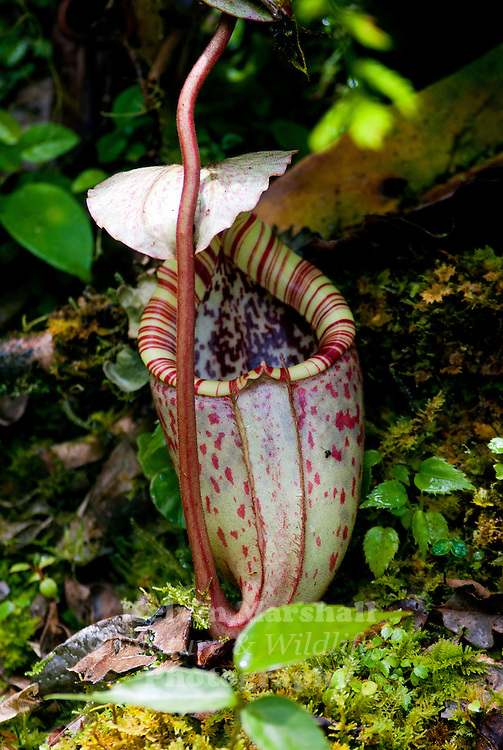 Nepenthes burbidgeae , also known as the painted pitcher plant or Burbidge's Pitcher-Plant is a tropical pitcher plant with a patchy distribution around Mount Kinabalu and neighbouring Mount Tambuyukon in Sabah, Borneo.