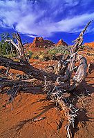 792800250 a twisted juniper snag frames red sandstone formations in escalante grand staircase national monument in southern utah