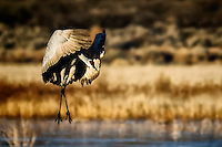 A sandhill crane landing at Chupadera Pond at Bosque del Apache National Wildlife Refuge.