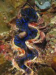Ngerchong Drop-Off, Palau -- Blue, iridescent giant clam.