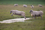 Jumping sheep by Dave Higgins