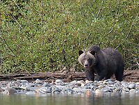 Many of the bigger grizzly bears had left this particular inlet, allowing sows and their cubs more freedom and safety to explore and feed.