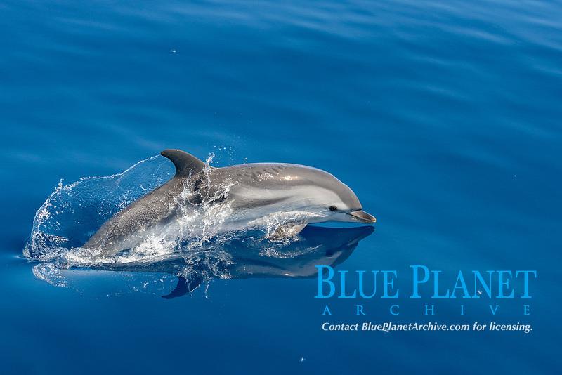 striped dolphin, Stenella coeruleoalba, porpoising along surface of ocean, Pelagos Sanctuary for Mediterranean Marine Mammals, Ligurian Sea, Mediterranean Sea, Italy