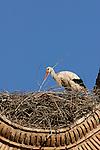 White Stork with branch in it´s beak adding to nest. Alfaro,Spain.