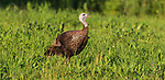 Hen turkey feeding in a summer meadow in northern Wisconsin.