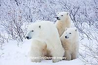 01874-11706 Polar Bears (Ursus maritimus) female and 2 cubs, Churchill Wildlife Management Area,  MB