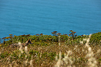 A coyote hunts for gophers in the brush along the Tomales Point Trail at Point Reyes National Seashore.