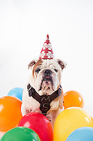 Champ (Bully) on white studio background - with MSU birthday hat and balloons.<br />