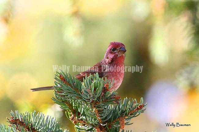 Birds of North America, <br /> Purple finch, carpodacus purpureus