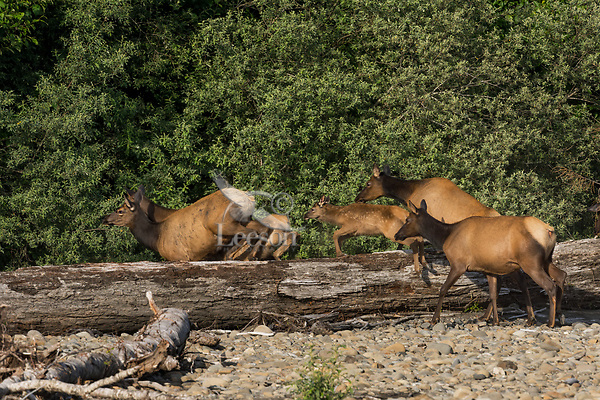 Roosevelt Elk or Olympic Elk (Cervus canadensis roosevelti) jumping old log on river bar.  Pacific Northwest, summer.  (Elk are along the Queets River in Olympic National Park's rain forest).