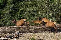 Roosevelt Elk or Olympic Elk (Cervus canadensis roosevelti) jumping old log on river bar.  Pacific Northwest, summer.  (Elk are along the Queets River in Olympic National Park's rain forest).