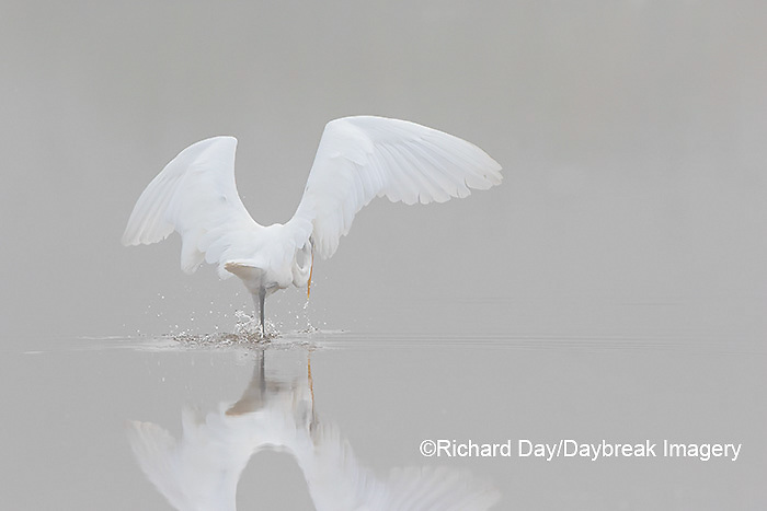 00688-02318 Great Egret (Ardea alba) fishing in wetland in fog, Marion Co., IL