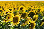 Sunflower fields in Caroona, near Quirindi, Liverpool Plains, New England, NSW, Australia