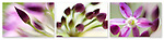 Close-up photographic triptych of purple wild onion flowers.