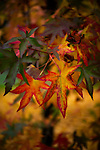 A maple shows off its transition to autumn colors.