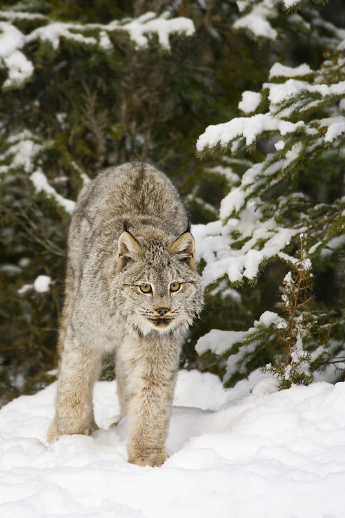 Canada Lynx walking out of a snowy forest - CA
