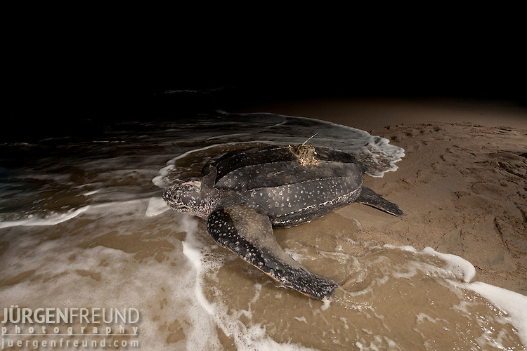 Leatherback turtle (Dermochelys coriacea) female equipped with sattelte transmitter returning to sea after nesting on the beach.