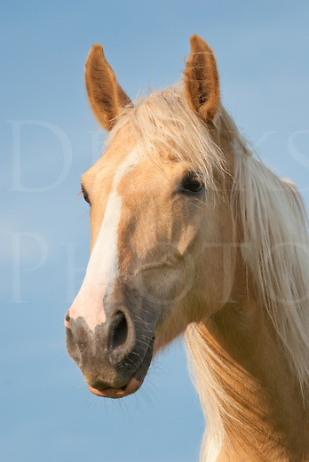 "Portrait picture of a handsome and slightly windblown palomino paint horse, ""Beau"", a Tennessee Walker."
