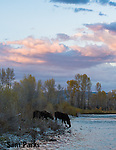 Cow moose drinking at sunset. Grand Teton National Park, Wyoming.