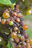 Bunches of ripe grapes. Very uneven nobel rot. Sauvignon Blanc. Chateau Guiraud, Sauternes, Bordeaux, France