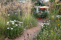 Stipa gigantea and Shasta Daisy (Leucanthemum x superbum) in backyard meadow garden Barbata garden, Walnut Creek, California