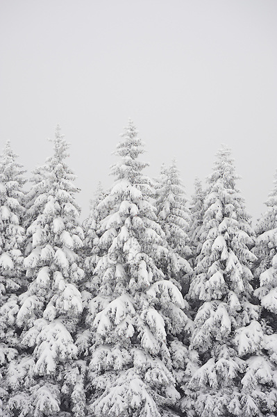 Snow covered coniferous forest with fog, Zug, Switzerland, December 2007