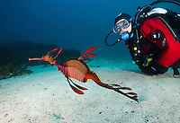 RS0888-D. Common Seadragon (Phyllopteryx taeniolatus), also called the Weedy Seadragon. One of the most bizarre, fantastical creatures in the sea, this large (to 18 inches) cousin of the seahorse is found on and adjacent to reefs with kelp and seagrasses from just under the surface to over 150 feet deep, along the coast of South Australia. Tasmania, Australia, Pacific Ocean.<br /> Photo Copyright &copy; Brandon Cole. All rights reserved worldwide.  www.brandoncole.com