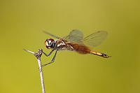388590007 a wild female striped saddlebags dragonfly tramea calverti perches on a dead flower stem at southeast regional park austin travis county texas