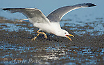 California Gull (Larus californicus), foraging for Alkali Flies (Ephydra hians) by running through swarm snapping its bill, Mono Lake, California, USA.