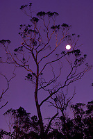 Ohia lehua tree, sunset, Kokee State Park, near Kalalau Lookout, with full moon.