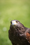"© Joel Goodman . 3 June 2013 . 3 York Road , Droylsden , Manchester M43 7QB , UK . "" RIA "" the Harris Hawk (three and a half years old) (correct), whom Alan Long (correct) (35) attempted to rescue from up a tree after she escaped her leash , only to get stuck half way up the tree himself . They both had to be rescued by the fire brigade . Photo credit : Joel Goodman"