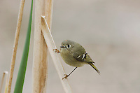 Ruby-crowned Kinglet (Regulus calendula), Sinton, Corpus Christi, Coastal Bend, Texas, USA