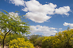 Dramatic skies and blooming Palo Verde with Santa Rita Mountains in the background.